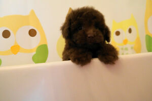 Cuddly Chocolate Toy & Teacup Poodle Puppy