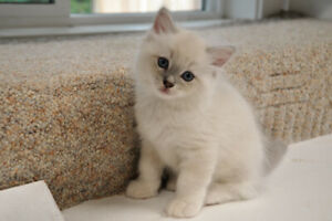 ADORABLE FLUFFY PUREBRED RAGDOLL KITTENS - INCLUDES SPAY/NEUTER