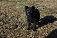 Working German Shepherd Puppies For Your Consideration