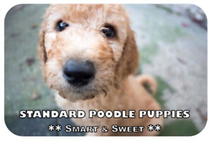 Standard Poodle Puppies - Available Now