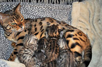 Chatons Bengal brown, silver et charcoal