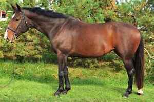 Pretty Dutch warmblood mare 5 yrs 16.2 - PROSPECT