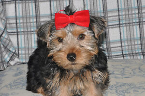 One Adorable Yorkie Puppy