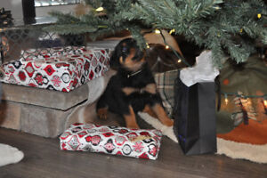 CKC Registered Purebred Rottweiler Female Puppy for sale - Neon