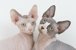 Sphynx X kittens for sale