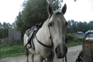 9 Year old QH Mare for sale