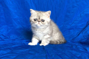 Exotic shorthair kittens - TICA show babies - last one!