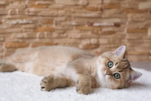Kitten - British Short Haired Male