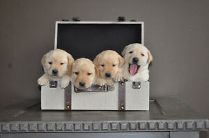Adorable Yellow Lab Puppies