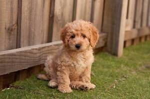WANTED: CAVOODLE, MINI GROODLE, OR MOODLE PUPPY Findon Charles Sturt Area Preview