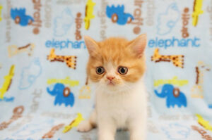 Exotic Shorthair (Garfield) Kitten