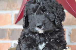 Beautiful F1 Bernadoodle Puppies
