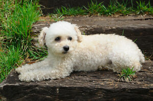 poodle mix for rehoming <3