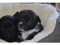 Pedigree Chihuahua Puppies Available