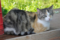 Missing Calico/Tabby F, EARTIPPED