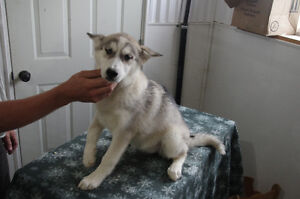 2 Female Pure Bred Siberian Huskies from regestered breeder.