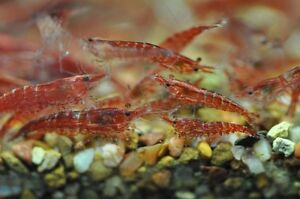 Cherry shrimp $1.00 and Golden crystal bees $4.00