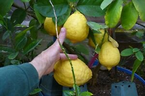 Lemon trees ,mature ,fruiting and flowering now