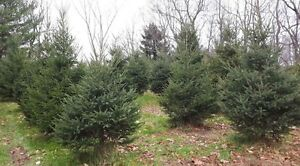 FS Christmas trees