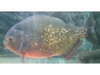 "9"" red belly piranha x1"