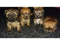 Beautiful Chorkies ready for their new homes 15th march
