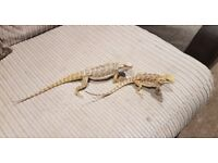 Two beautiful baby bearded dragons
