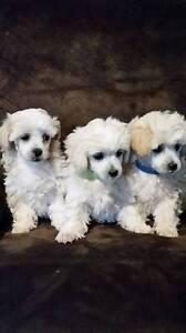 Moodle ( mini poodle x maltese) Inverell Inverell Area Preview