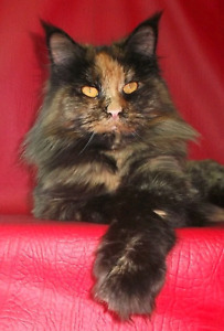 Maine coon female kitten LAST ONE PARENTS REGISTERED