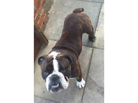 British bulldog 14 months