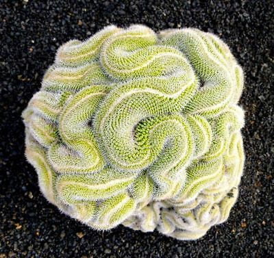 10 Green Brain Cactus Seeds Mixed Heat Rare Succulents Stone Flower Desert - Brain Balls