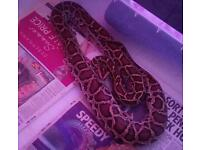 Male Burmese python