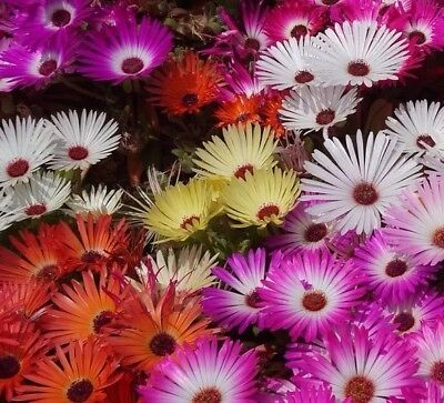 (Livingstone Daisy Mix Flower Seeds Packet 1 GRAM Ice plant Packed For 2019 USA)