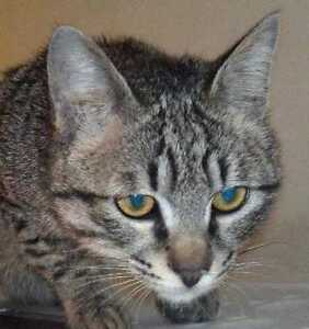 """Young Male Cat - Domestic Short Hair: """"MARV"""""""