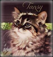 """Baby Male Cat - Domestic Short Hair: """"Tansy"""""""