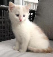 "Baby Male Cat - Domestic Short Hair - buff and white: ""Skip"""
