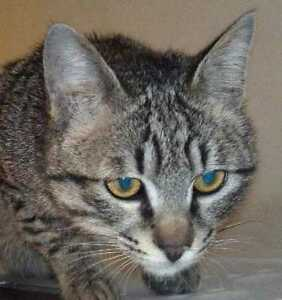 "Young Male Cat - Domestic Short Hair: ""MARV"""