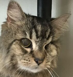 "Senior Female Cat - Tabby-Domestic Medium Hair: ""Delphi"""