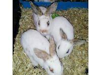 Rex rabbits
