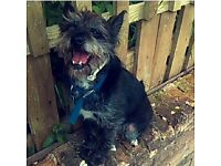 Missing Black Terrier/ cross breed dog with white markings. Oscar