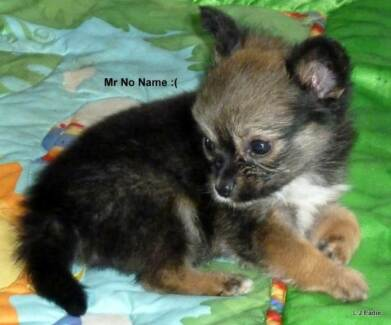 Tiny Mr No Name is looking for a loving forever home.... :'o( Gympie Gympie Area Preview