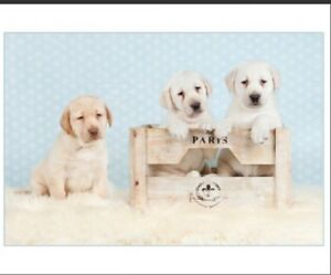 Beautiful ENGLISH LAB Puppies FOR SALE in Ontario!
