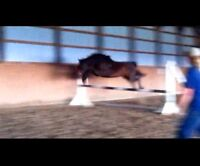 AMAZING JUMPER PROSPECT FOR SALE/FULL LEASE!!