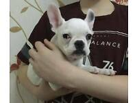 French bulldog puppy handsome pure boy