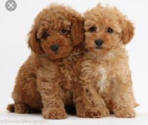 Looking for toy poodle