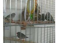 3 X male zebra finches