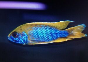 Delivery $35 Big selection African cichlids