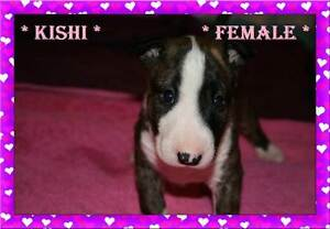 ** PEDIGREE BULL TERRIER PUPS ** Jimboomba Logan Area Preview