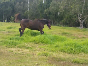 Thoroughbred mare Crestmead Logan Area Preview