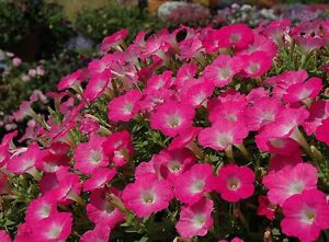 Pink Razz Wave Petunia 50 Seeds Stunning Bright Pink with White Centered Blooms