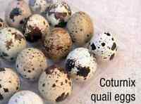 Fertile Coturnix (Japanese) Quail Eggs For Sale!